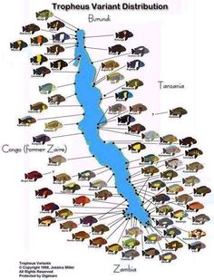 """Tropheus variants - Tropheus are ~5"""" highly aggressive Tanganyikan Cichlids, must be kept in group of 12+ in large, well filtered tank. click to learn more."""