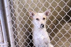 ~~DIES TUES. 07/29/14 7PM ODESSA~SUPER URGENT 'We have 22 on the list for tomorrow!! Please please all pledge to attract rescues and network!! We need everyone's help today, but we can do it!'Heeler~ female~ 1-2 years old ~ Kennel A32~Available NOW ****$51 to adopt  Located at Odessa, Texas Animal Control. We ARE NOT the pound. We are volunteers who network these animals to try and find them homes. Please send us a PM if we can answer any questions for you.