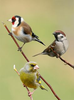 Passeriformes, photo by Sandor Bernath Pretty Birds, Love Birds, Beautiful Birds, Exotic Birds, Colorful Birds, Greenfinch, British Wildlife, Bird Artwork, Kinds Of Birds