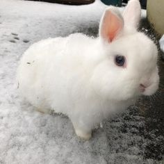 In case you are looking for a pet which is not only extremely cute, but very easy to have, then look no further than a family pet rabbit. Big Bunny, Cute Bunny, Guinea Pig Care, Guinea Pigs, Baby Animals, Cute Animals, Bunny Care, Pet Dogs, Pets