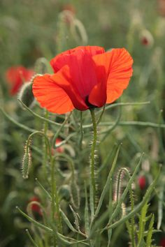 i'm obsessed with poppies right now