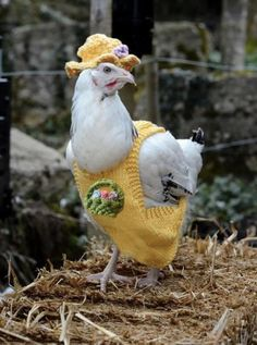 Knitting: Easter Chicken Coats with Matching Hats this is crackin' me up. Cute Chickens, Chickens And Roosters, Raising Chickens, Chickens Backyard, Sweaters For Chickens, Farm Animals, Funny Animals, Cute Animals, Chicken Clothes
