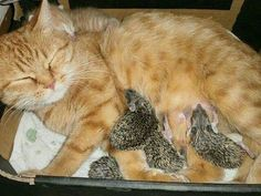 Momma cat takes in orphan hedgehog babies as her own