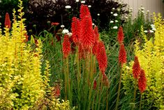 Rare Red Hot Poker Torch Lily Flower Seeds Exotic Kniphofia Uvaria Rare Garden Flower Ornamental Hardy Bright Perennial 400 by PetalAndThornSeeds on Etsy Red Hot Poker Plant, Sun Plants, Companion Planting, Cut Flowers, Fall Flowers, Pretty Flowers, Tropical Garden, Flower Seeds, Garden Inspiration