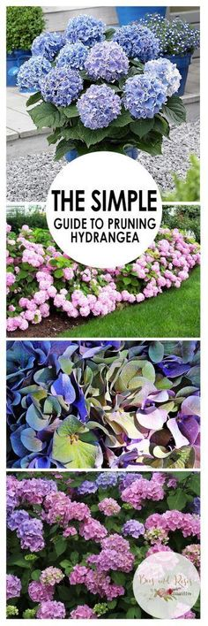 The Simple Guide to Pruning Hydrangea Gardening Gardening Hacks How to Prune Hydrangea Pruning Hydrangea Gardening Tips and Tricks Pruning Hydrangea Growing Hydrangea How. Pruning Hydrangeas, Garden Landscaping, Garden Planning, Growing Hydrangeas, Backyard Garden Design, Shrubs, Plants, Backyard Garden, Planting Flowers