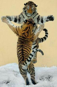 Big Cats, Cats And Kittens, Cute Cats, Animals And Pets, Funny Animals, Cute Animals, Beautiful Cats, Animals Beautiful, Tiergarten Schönbrunn