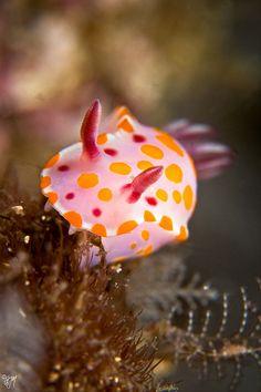Ceratosoma amoenum (by AlistairKiwi) nudibranchs! Underwater Creatures, Underwater Life, Ocean Creatures, Beautiful Sea Creatures, Animals Beautiful, Unusual Animals, Sea And Ocean, Fish Ocean, Fish Fish