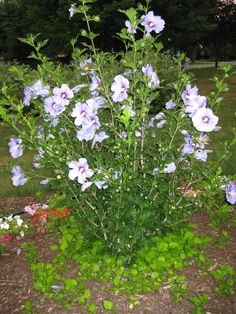 Blue Satin Rose of Sharon. All that growth at the bottom is babies.  I brought 3 to my new house.  One had blooms last year.  They grow fast!