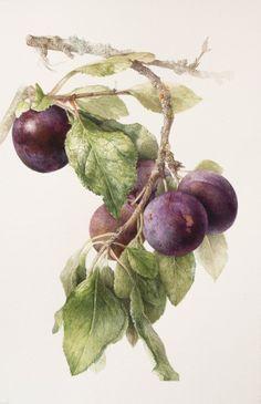 Elaine Searle botanical illustration