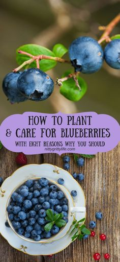 Gardening Ideas Blueberries are a summertime treat from which the harvests pay dividends all year long by way of tasty treats. Learn how to plant and care for blueberries and get some tasty recipes for baked goods, jams, and syrups! Home Vegetable Garden, Fruit Garden, Edible Garden, Veggie Gardens, Garden Soil, Garden Care, Organic Vegetables, Growing Vegetables, Gardening For Beginners