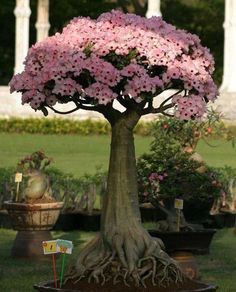 Desert Rose Bonsai (Adenium Obesum) Blooming in Pink... Observe Carefully the Intrincate Roots & Abundance of Flowers