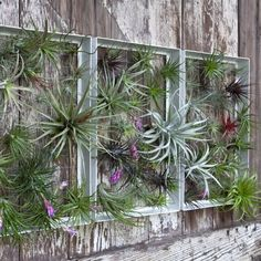 Airplant Frame #airplant #green #greenlovers