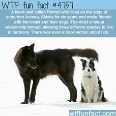 A Wolf Capled Romeo by Nick Jans - WTF Facts : funny, interesting & weird facts Wtf Fun Facts, Funny Facts, Random Facts, Random Stuff, Epic Facts, Random Things, Funny Memes, Animals And Pets, Funny Animals