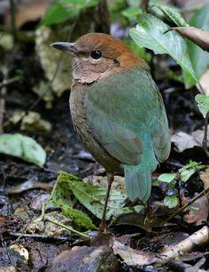 Rusty-naped Pitta (Pitta oatesi)