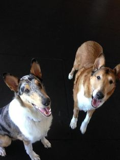 Smooth Collie, My Animal, Dog Pictures, Pup, Dog Cat, Dogs, Animals, Animales, Dog Baby