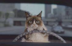 Grumpy cat driving