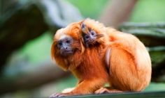 A golden lion tamarin with baby. Monkeys stolen from French zoo are 'extremely rare and fragile'