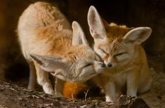 Cute Animal Videos, Cute Animal Pictures, Desert Sahara, Baby Hippo, Fennec Fox, Diabetic Dog, Sleeping Dogs, Baby Puppies, Dog Snacks