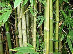 Grow Bamboo from seed.