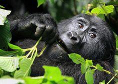 Wild Mountain Gorilla Eating Leaves | par Rob Kroenert