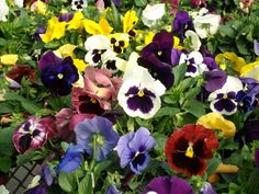 Johnny Jump-up Viola Tricolor purple yellow and by CaribbeanGarden