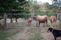 A day in the life of Tom Kendall - PermEco Inc. Sunshine Coast, The Life, Permaculture, Cows, Kendall, The Fosters, Gate, Horses, Running