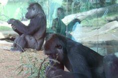 Gorillas San Diego Zoo  |  2929 Zoo Drive, San Diego, CA
