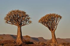 Photographic Print: Quiver tree (Kokerboom) (Aloe dichotoma), Gannabos, Namakwa, Namaqualand, South Africa, Africa by James Hager : 36x24in Quiver, Aloe, Framed Artwork, Find Art, South Africa, Dandelion, Flowers, Plants, Poems