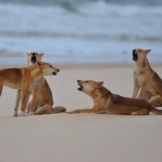 """Australia - The Fraser Island Barber Shop boys are warming up with a rendition of """"Uptown Dingoes"""". Photo by Wolf, Animals Beautiful, Cute Animals, Fraser Island, Australian Animals, Wild Dogs, Animal Kingdom, Mammals, Dog Breeds"""