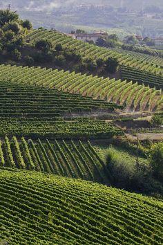Vineyards. Langhe, Piemonte, Italy