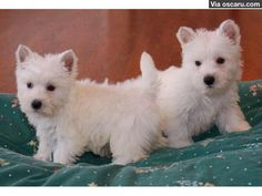 Cute White West Highland Terrier Puppies ready
