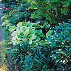 Great garden borders: Shade lovers   In partial shade, heart-shaped hosta leaves contrast with lacy Japanese maple foliage.