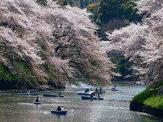 cherry trees in blossom