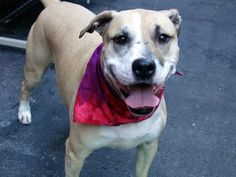 NILLA - A1051430 - - Manhattan  TO BE DESTROYED 10/08/15 **AVERAGE RATED YET NEEDS A NEW HOPE RESCUE TO PULL?**  A volunteer writes: Looking every bit like a vanilla wafer, Nilla is the perfect name for our girl. She's a chunky mama in her light tan and white coat who likes treats and gives me a perfect sit in anticipation of her reward. Showing off her housetraining skills the moment we were out the door, we then head for the park. Nilla pulls slightly on the leash,