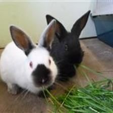 Captain is looking for a home with his brother Dash. They are young rabbits so they are looking for a home that can offer them a large hutch or shed attached to a 10ft by 5ft run. They are very active and very nosy rabbits. If you think you can offer these boys a home please contact the Godmanchester Shelter.