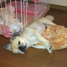 もういっちょ🐶💤💤 どんどん乱れるこたつでした💗笑  #こたつ #愛犬 #ペキスタグラム #ペキニーズ #はなぺちゃ #ブサカワ #犬バカ部 #犬 #pekingese #pekistagram #dog #mydog #instadog #dogstagram #pet #sweet #love #cute #angel #Japan #Japanese #tokyo #family #instafollow #yesterday #sleeping
