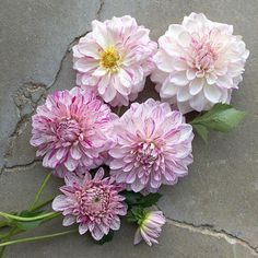 "( ""the maturing of 'bristol fleck' Pink Perennials, Flower Farmer, Dahlias, Bristol, Floral Wreath, Wreaths, Decor, Floral Crown, Decoration"