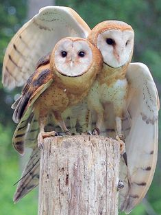 Owls left homeless after tree hits ...