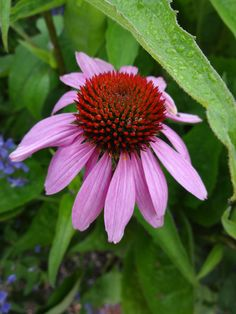 1st Echinacea seen on Evening Island this season