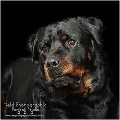 A fabulous Dog Shoot ! #heanorphotographer #fieldphotographicportraits #merv_spencer #rottweiler #dogshoot | From Field Photographic Portrait Studio | http://ift.tt/20TBije