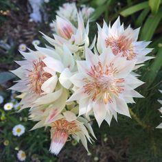 Serruria florida 'Blushing Bride', Protea 'Blushing Bride' - uploaded by Protea Plant, Protea Flower, Exotic Plants, Exotic Flowers, Beautiful Flowers, Australian Native Garden, Australian Native Flowers, Australian Wildflowers, Bush Garden