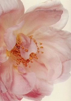 A hybrid tea rose, photographed by Irving Penn in 1971.