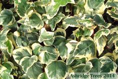 This Ivy, Hedera canariensis 'Gloire de Marengo' has excellent, large, strong and glossy variegated leaves that are, perhaps, the brightest of the variegated ivies and will light up dark corners.