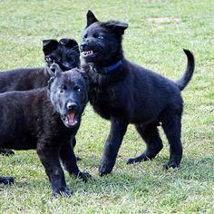 Labrador Retriever, Dogs, Animals, Puppys, Labrador Retrievers, Animales, Animaux, Pet Dogs, Doggies