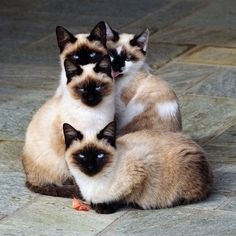 #CATS... We are Siamese if you please.  We are Siamese if you don't please......(what comes after that?)