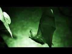 Secret Life of the Rainforest – Cell Phone Training for Bats