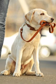 Owner And Sitting Labrador Dog In City On Unfocused Background Labradorretriever Golden Retriever Labrador Labrador Labrador Dog