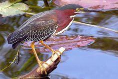 photos pinellas county wildlife | Green Heron photographed in Sawgrass Lake Park, St. Petersburg, FL ...