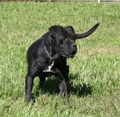 Discover The Big Mastiff Dogs And Kids Cane Corso Italian Mastiff, Cane Corso Mastiff, Dogs And Kids, I Love Dogs, Cute Dogs, Mastiff Breeds, Mastiff Dogs, Giant Dog Breeds, Giant Dogs