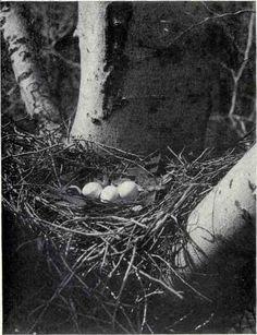 Cooper's Hawk, Bird Book, Hawks, Bird Houses, Nest, Creatures, Birds, Google, Image